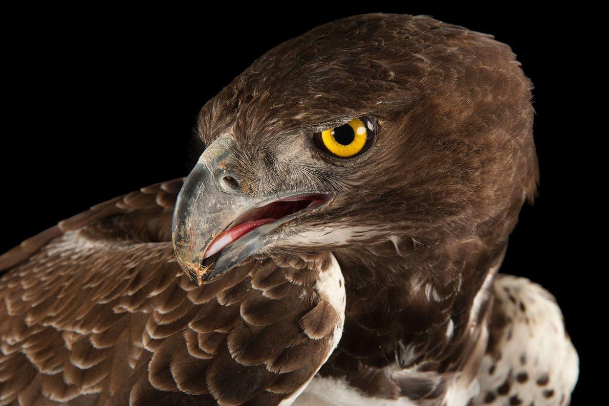 Un águila marcial