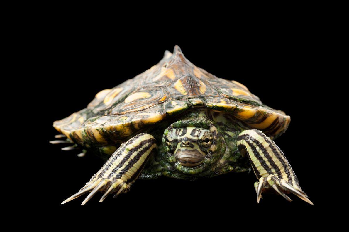 Una tortuga mapa amarilla