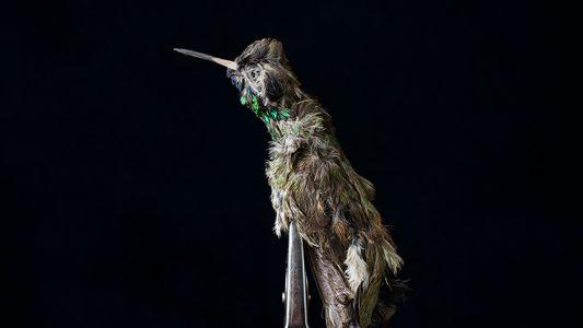 El mercado negro de los colibríes