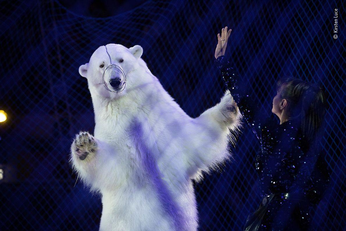 Oso polar actuando en un circo ruso itinerante