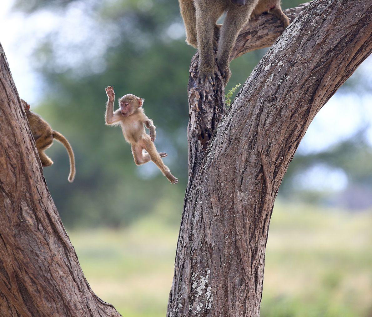 Un babuino bebé