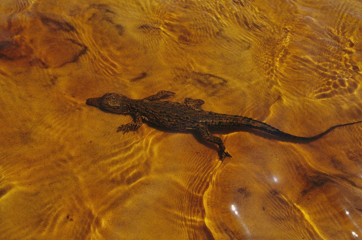 Un cocodrilo joven