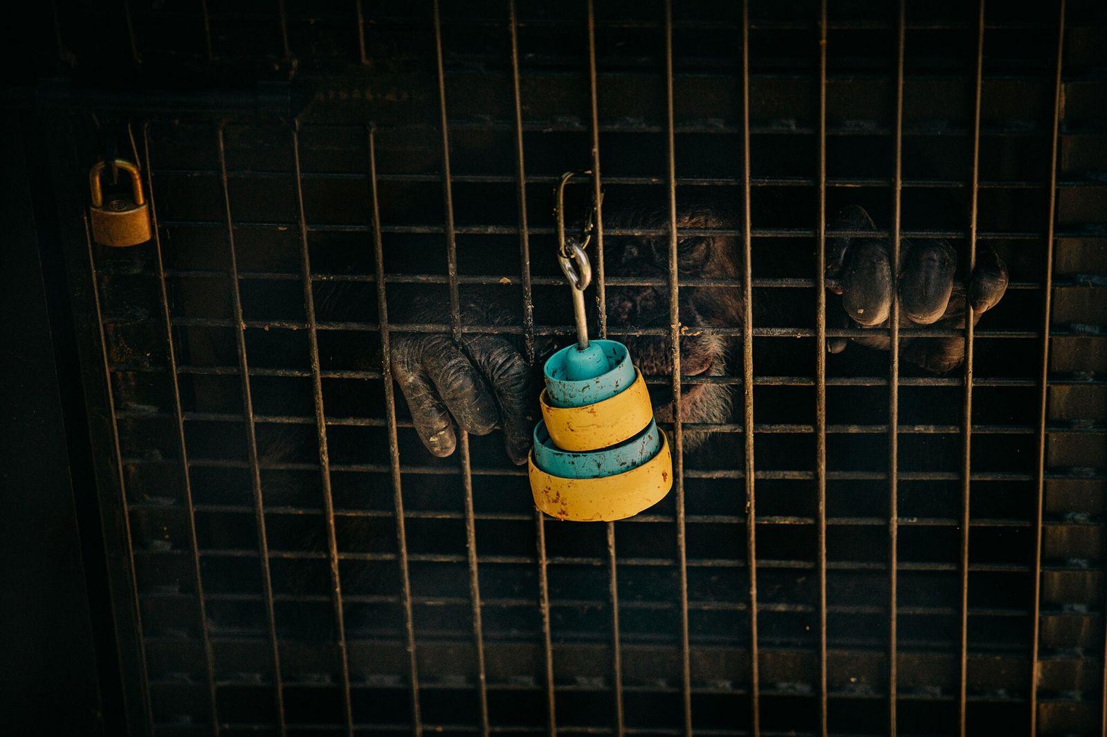 Fotografía de un chimpancé de laboratorio retirado