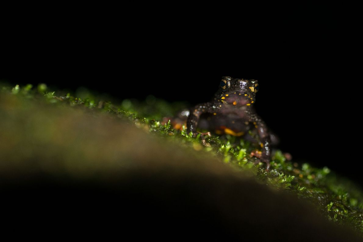 The Malabar torrent toad, Ghatophryne ornata, is seen around fast-flowing streams. It is also an endangered ...