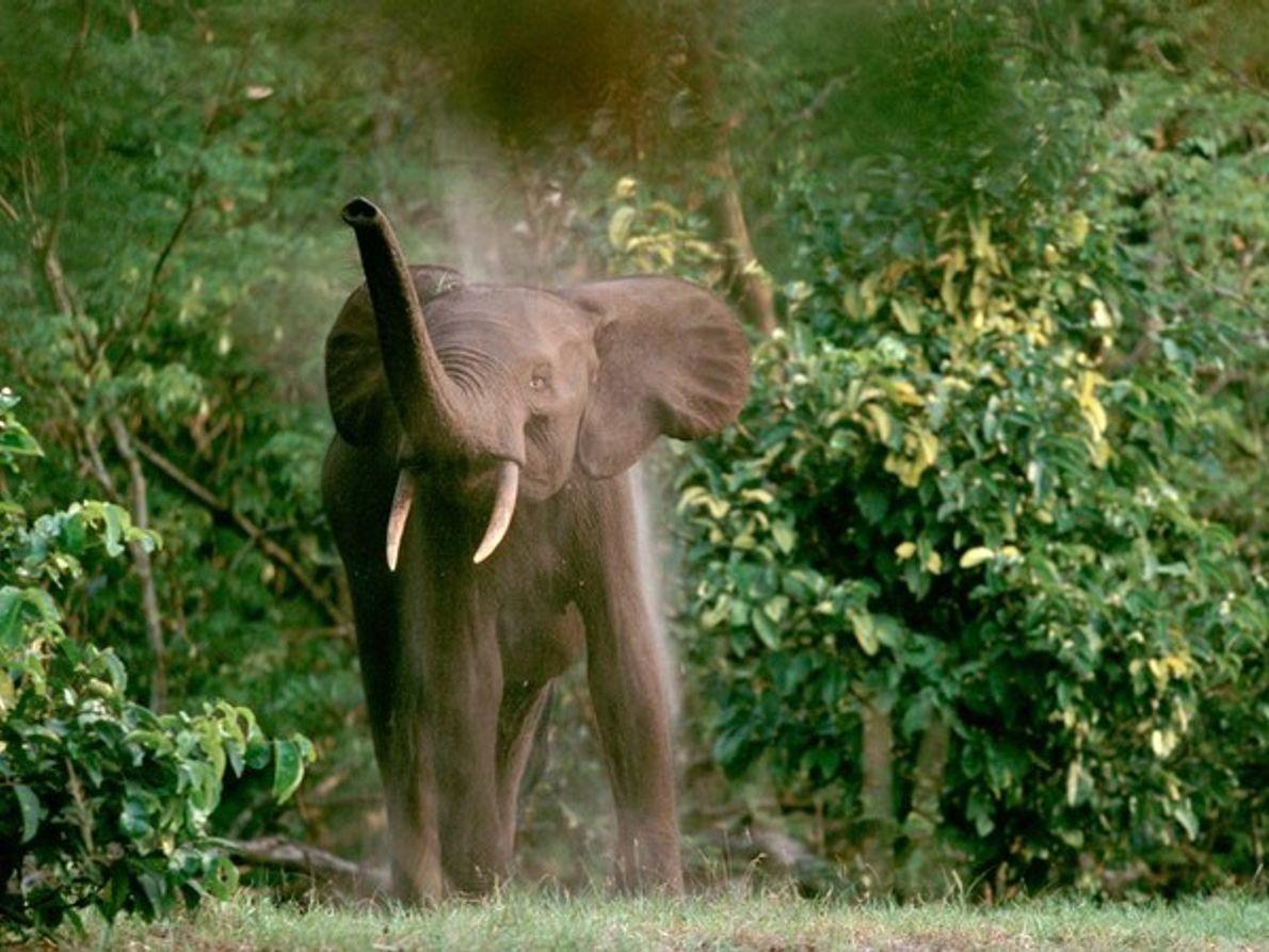 Elefante africano de la selva