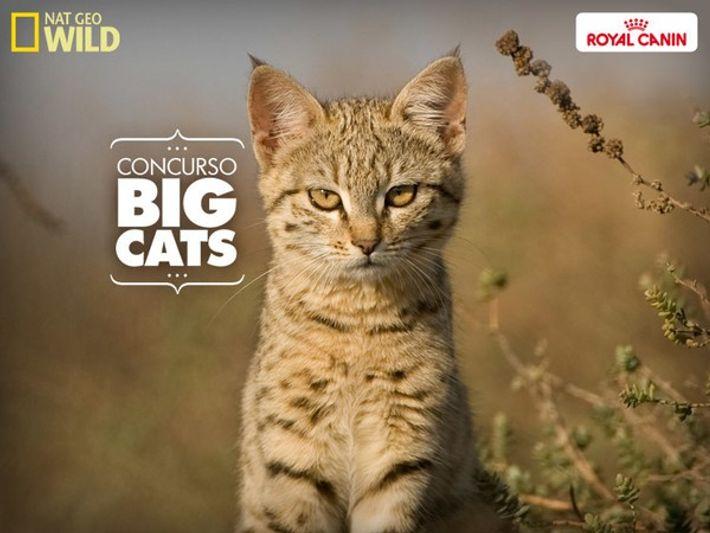 BIG CATS, EL LADO MÁS SALVAJE DE TU MASCOTA