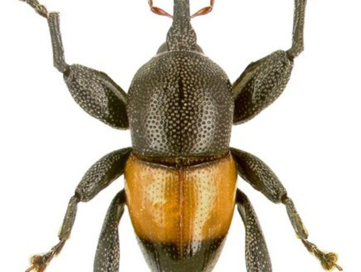 Trigonopterus Apicalis