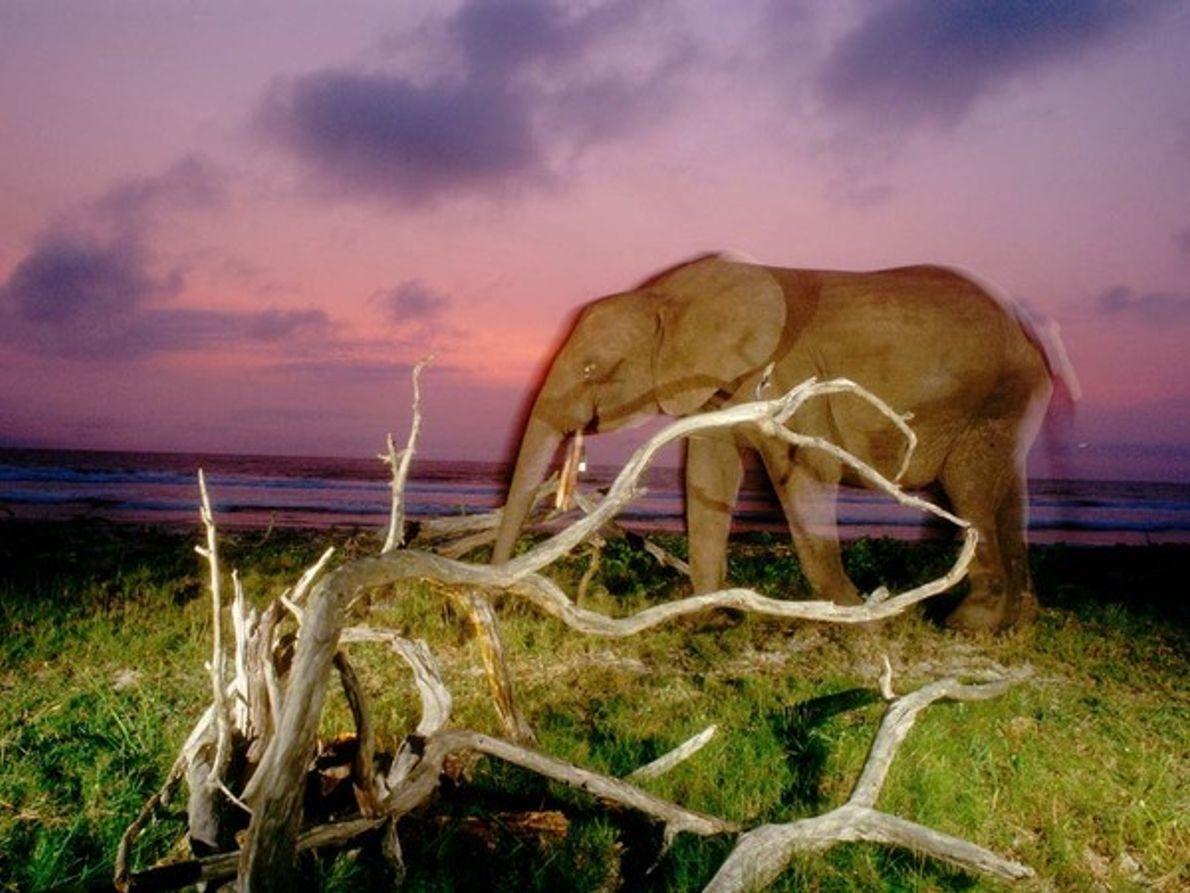 Elefante de la selva al atardecer