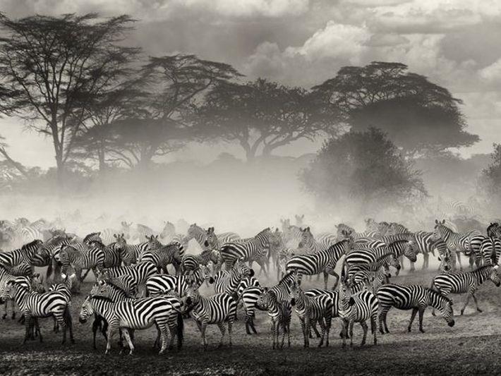 Zebras, Serengueti