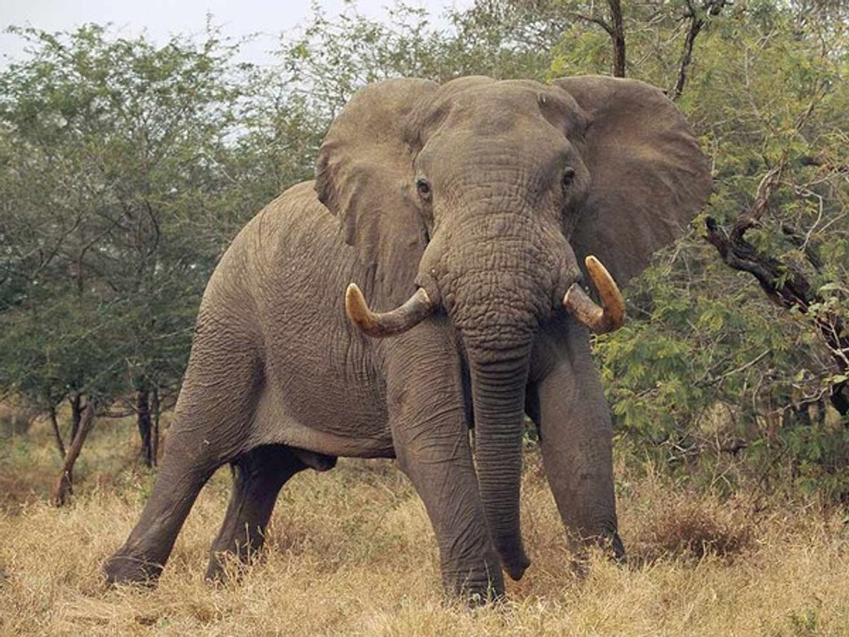 Elefante toro firme en su territorio
