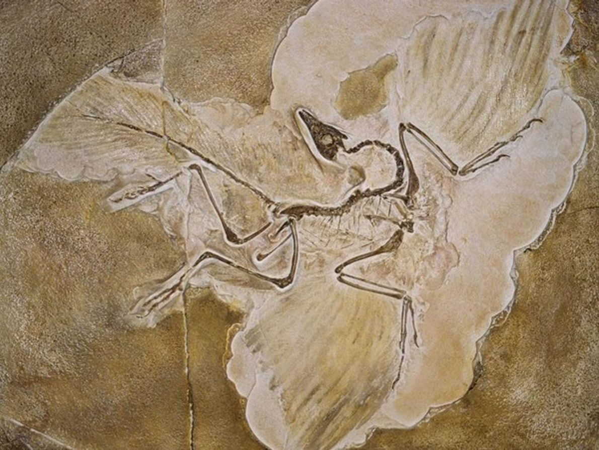 Archaeopteryx Lithographica