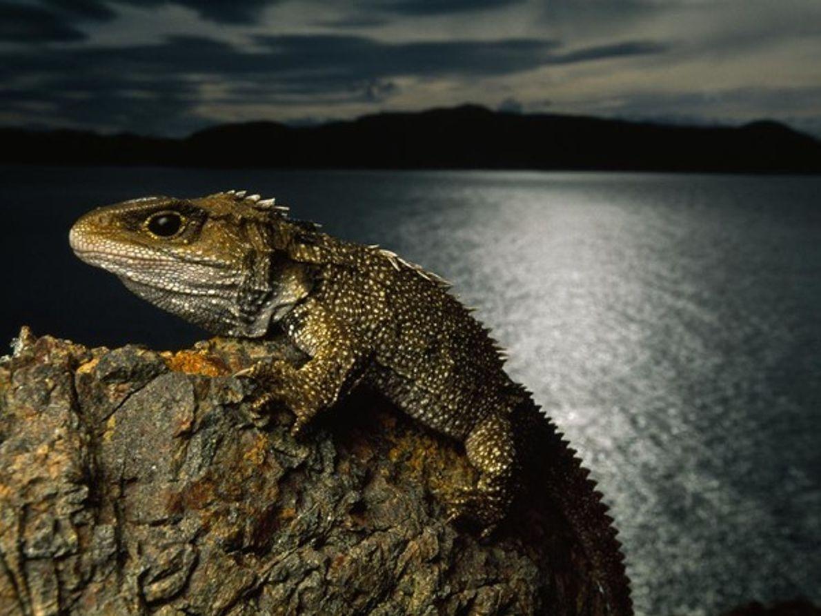 El reptil Tuátara
