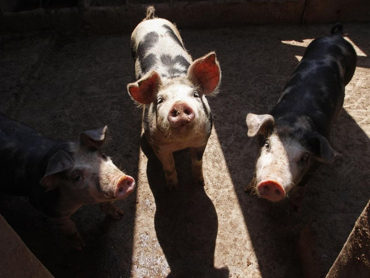 Pigs sniff for food at a farm on the outskirts of Mexico City, where an outbreak ...