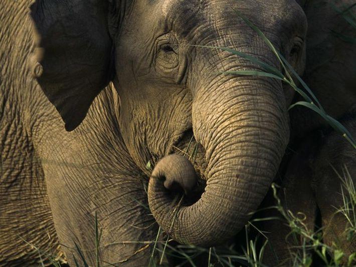 Elefante asiático comiendo