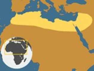 Solpúgido gigante de Egipto