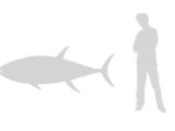 Atún de aleta azul del Atlántico