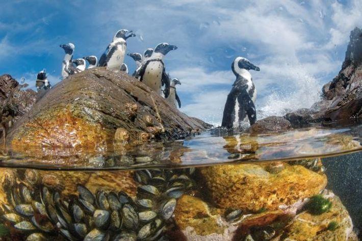 Pingüinos africanos en la costa de los Esqueletos.