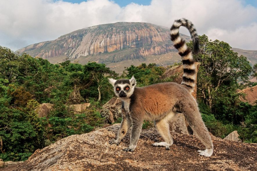 Un lémur de cola anillada, animal en peligro de extinción, mira a la cámara en el ...