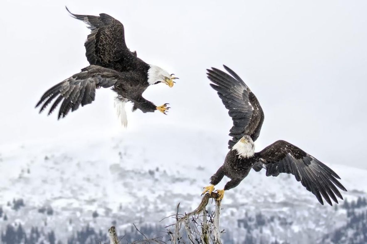 Dos águilas calvas