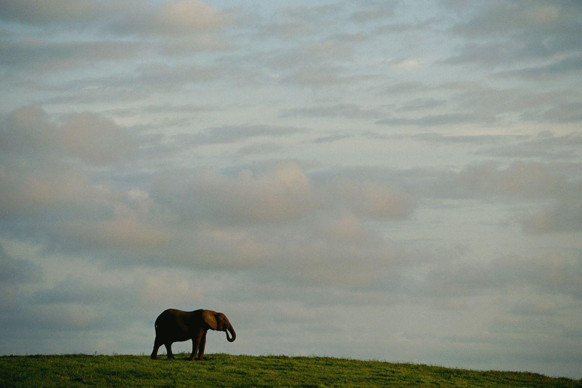 La silueta de un elefante africano