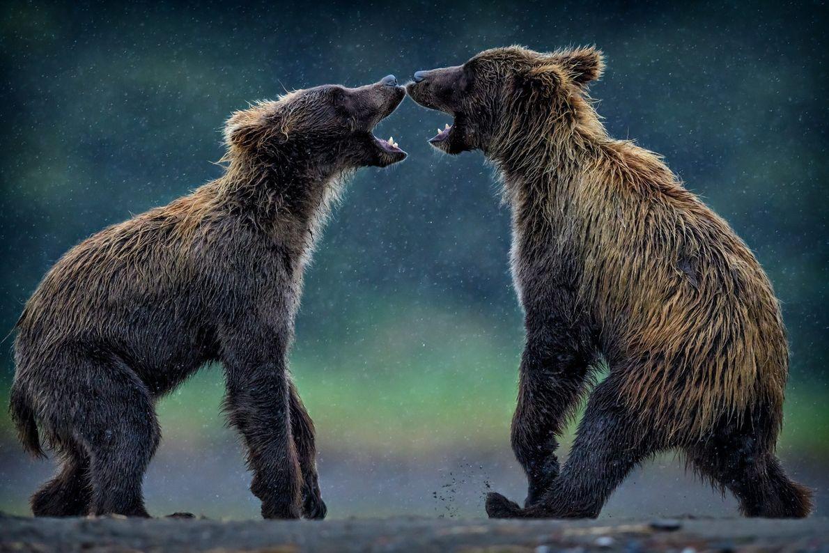 Dos osos grises
