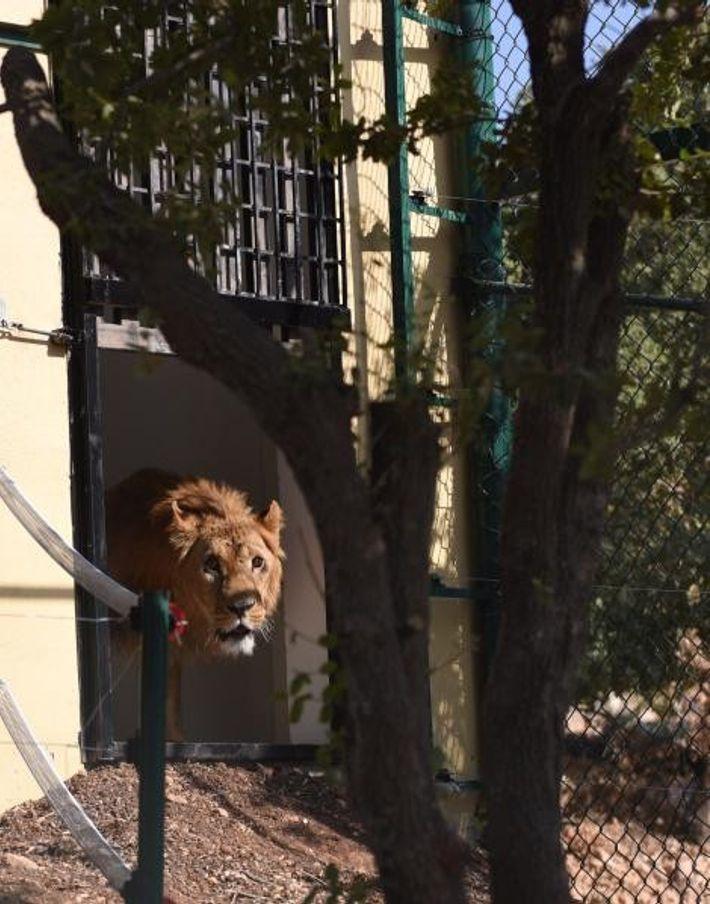 Un león explora su nuevo recinto