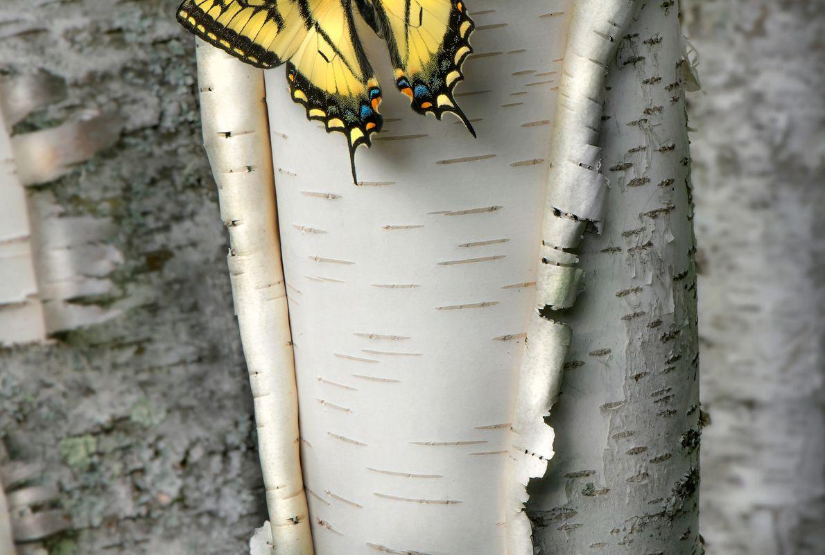 Una mariposa papiliónida