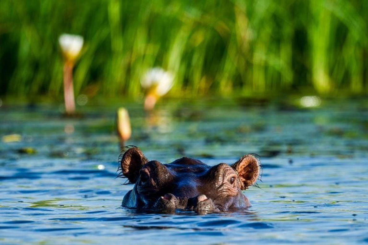 Un hipopótamo del Nilo