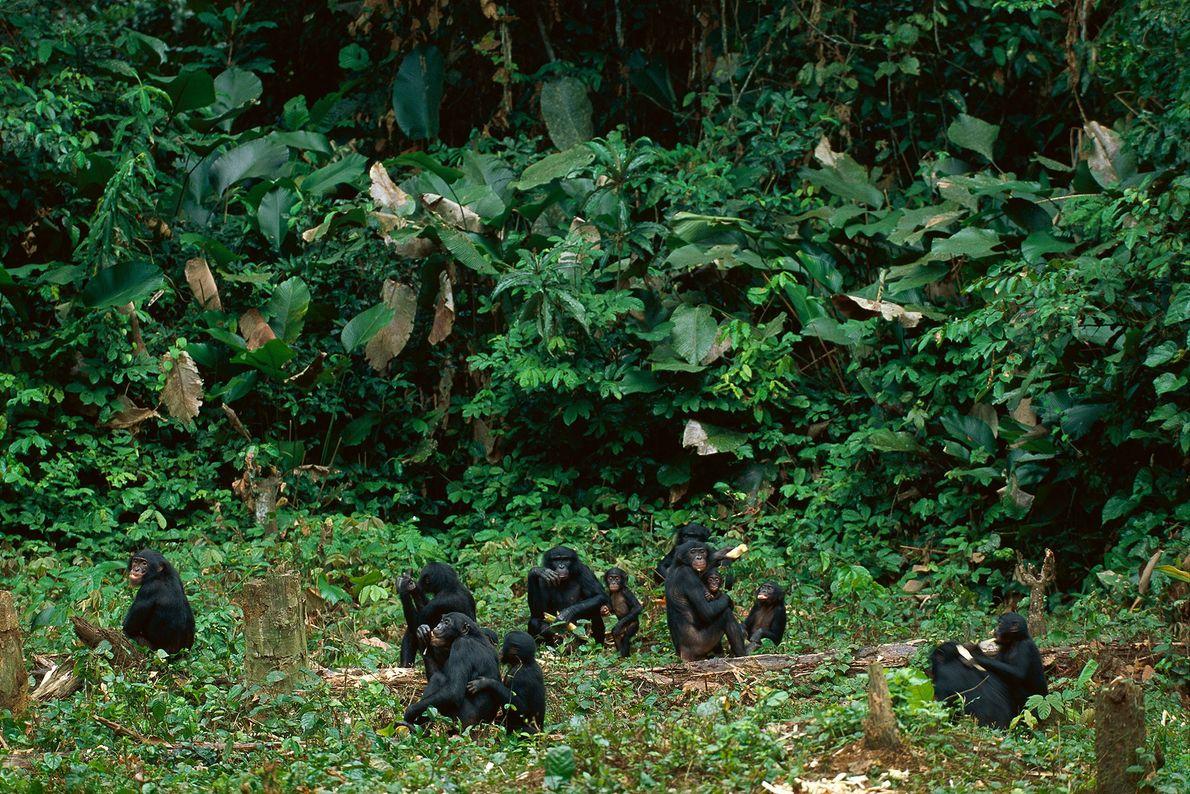 Una familia de bonobos