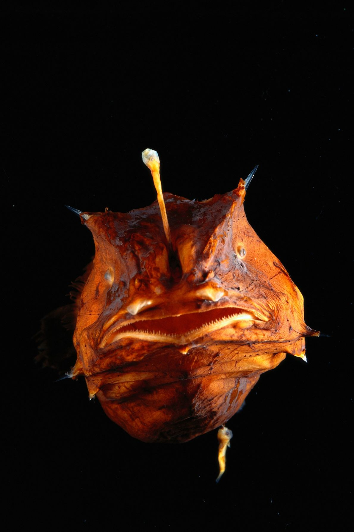 Lophiiformes