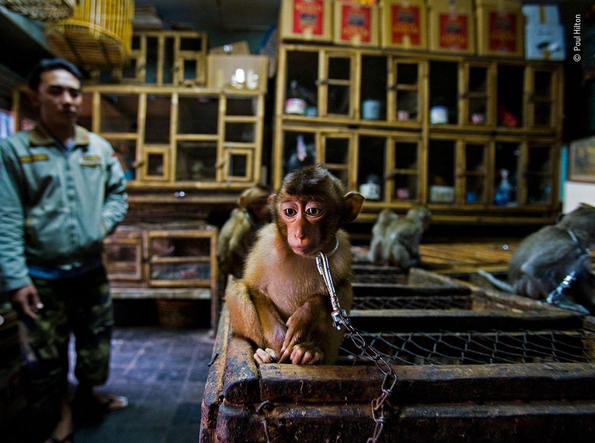 Macaco cola de cerdo sureño encadenado a una jaula