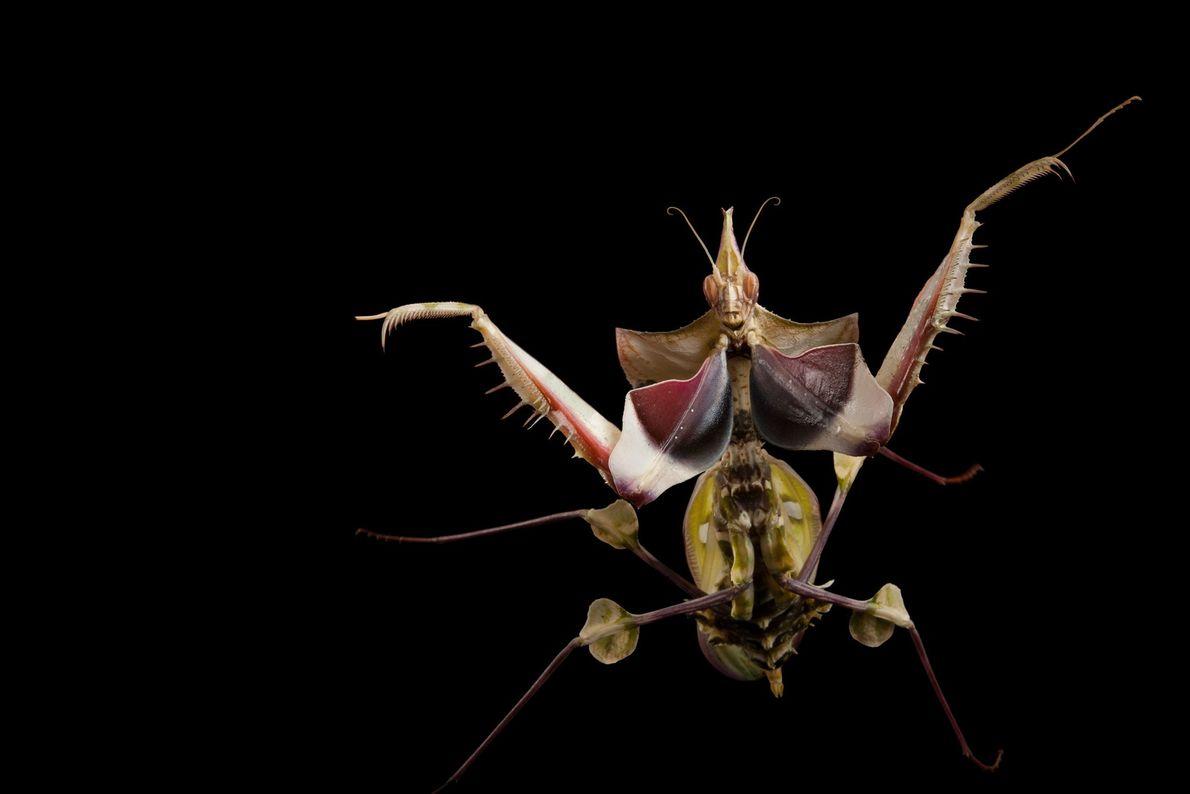 Una mantis diablo