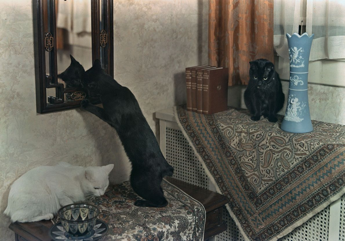 Tres gatos Manx