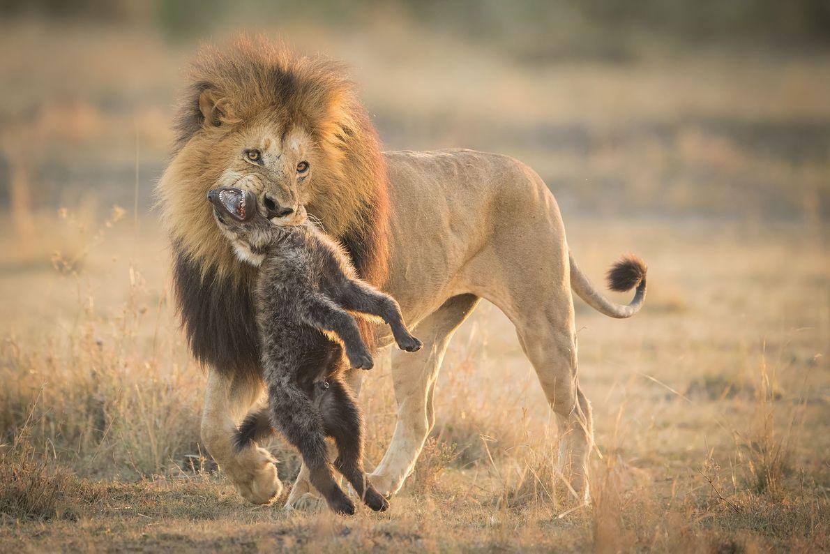 León y hiena
