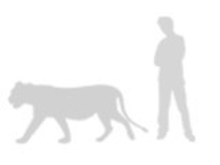 comparación del león africano
