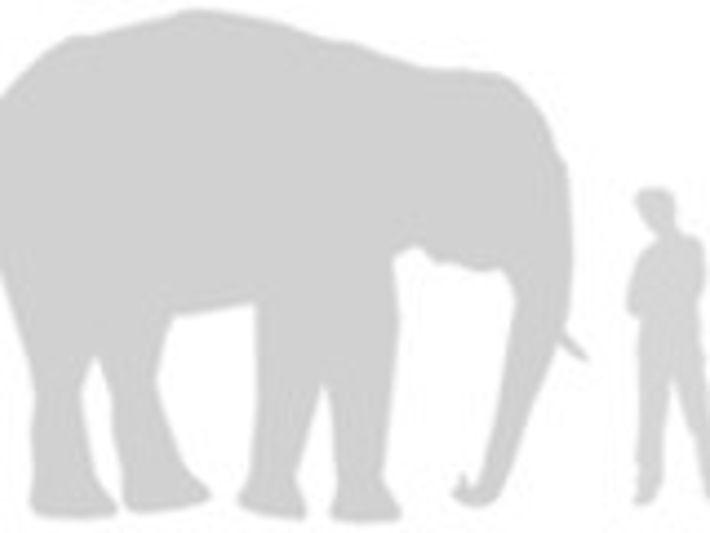comparación del elefante asiático
