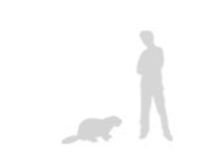 comparación del castor
