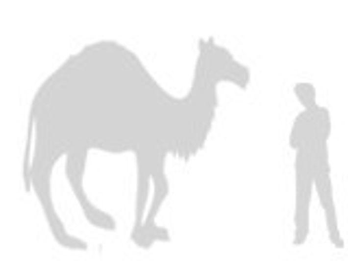 Camello de Arabia