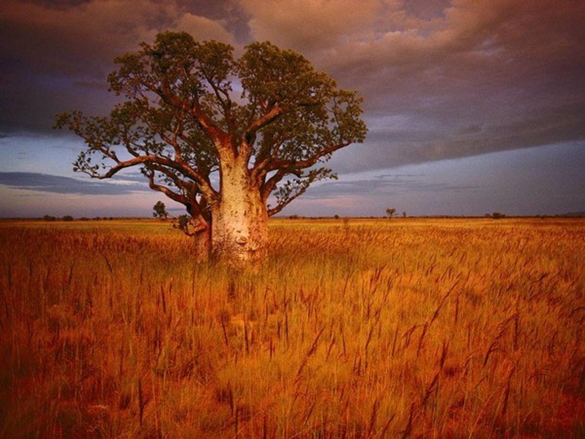 Árbol baobab, Australia