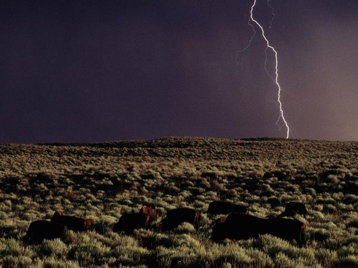Una manada de bisontes (primer plano en una pradera de Kansas, mientras se cierne una tormenta …