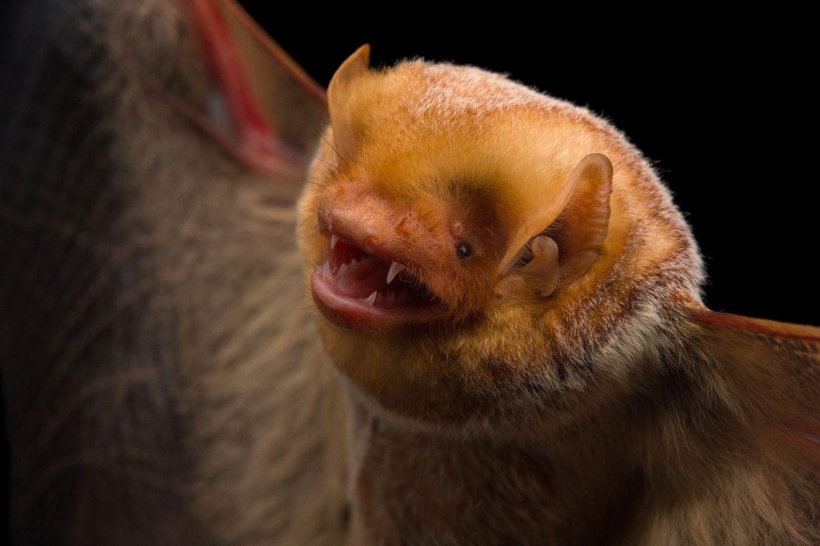 Murciélago colorado