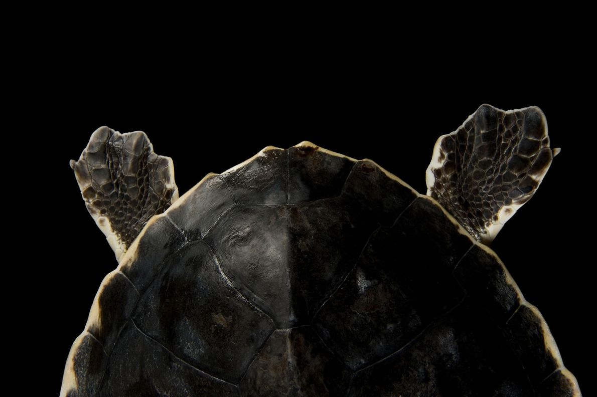 Las aletas traseras de una tortuga lora