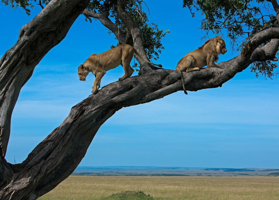 Una leona desciende de un árbol