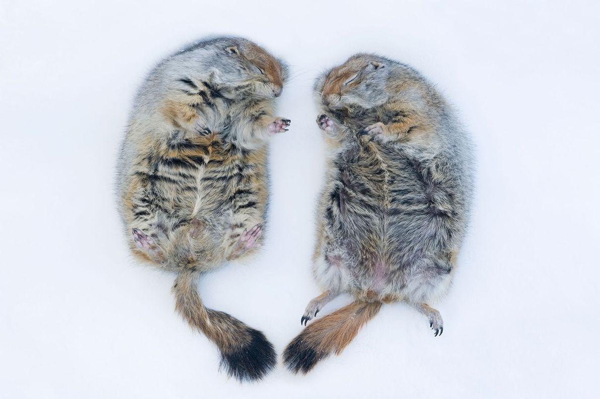 Las ardillas terrestres del Ártico hibernan en la Universidad de Alaska, Fairbanks.