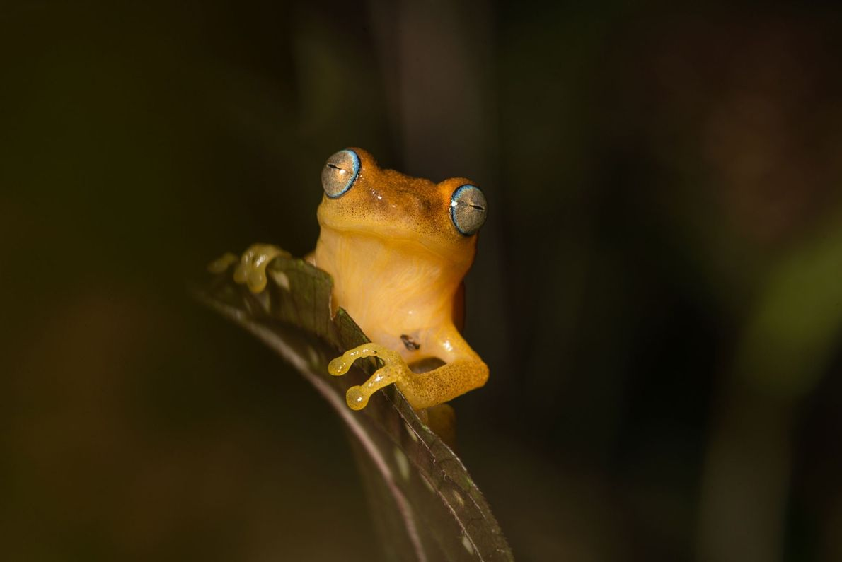 The blue-eyed frog, Raorchestes luteolus, is nocturnal. Male frogs can be heard calling at dusk.