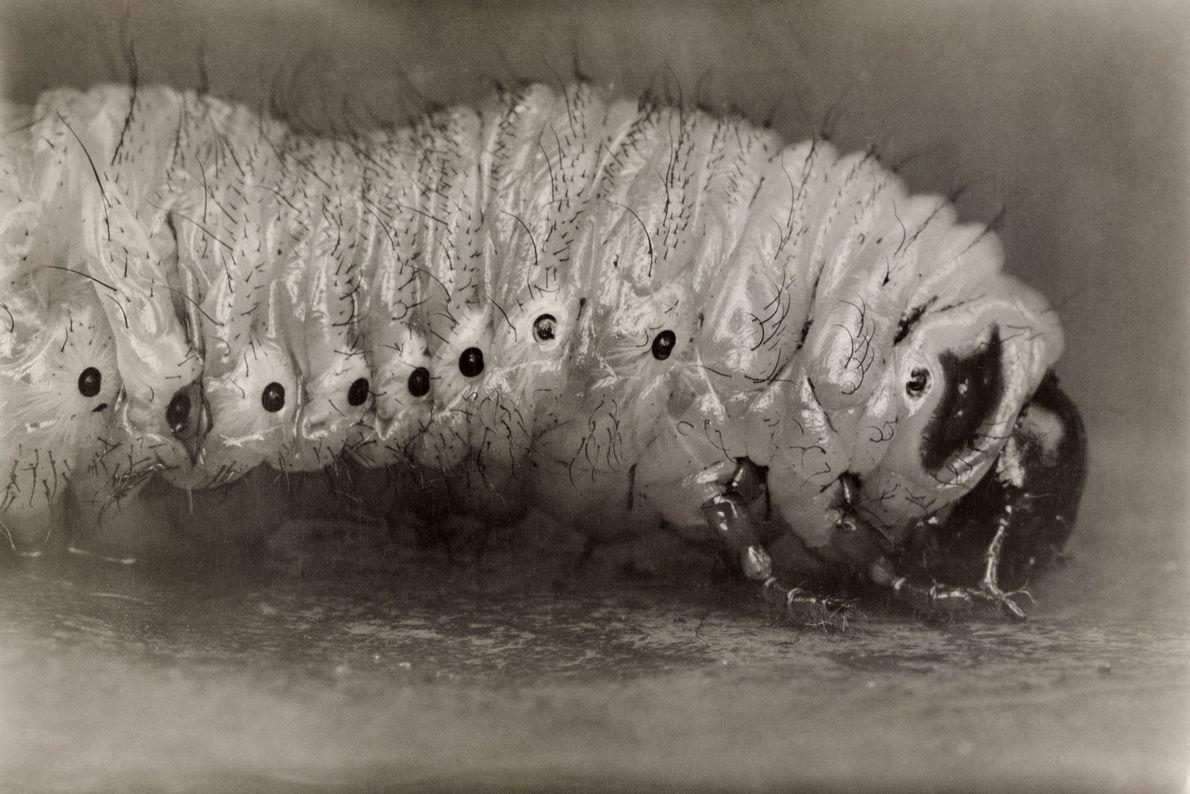 Escarabajos de junio