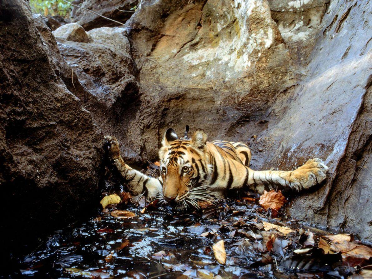 Tigre en un abrevadero