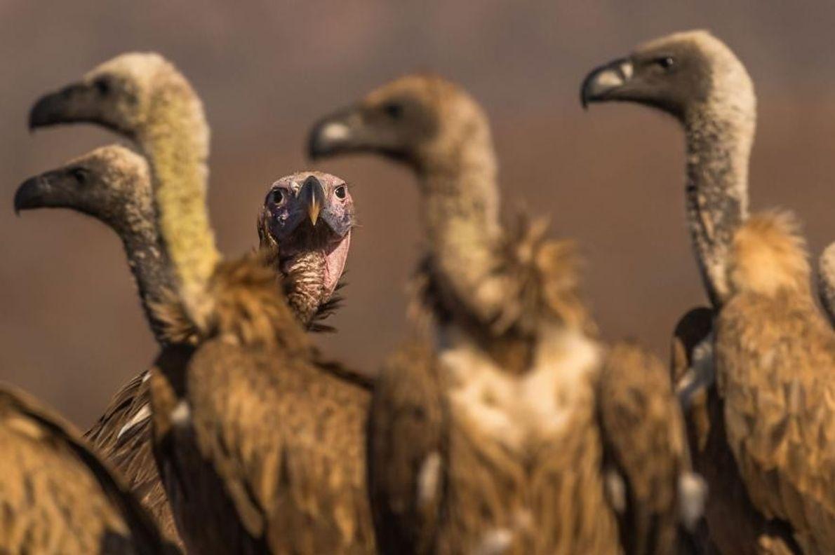 Buitres dorsiblancos africanos