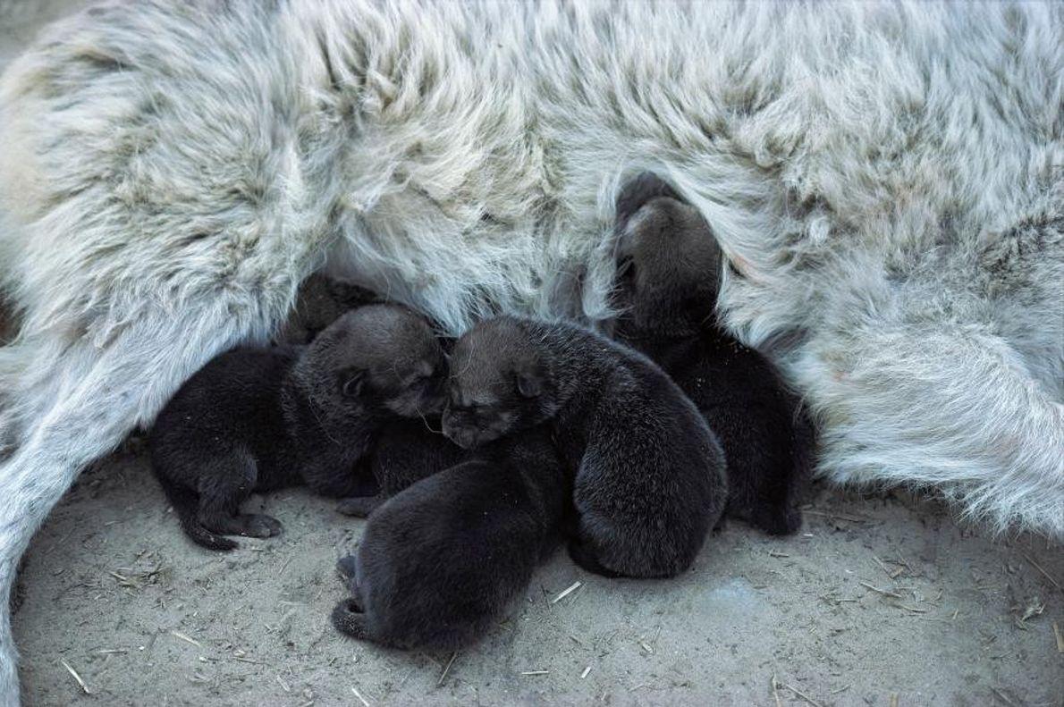 Lobos del Mackenzie
