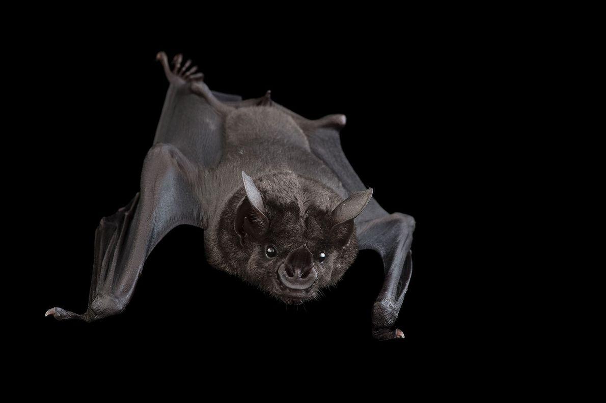 Murciélago de nariz lanceolada